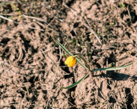 03-26-16-Yellow-Bells