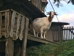 We found a goat!