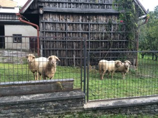 Sheep in the village