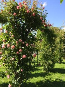 Roses in the Volksgarten