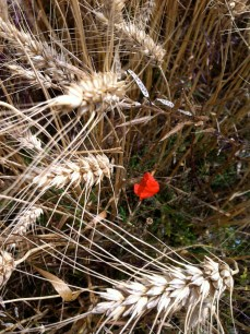 a poppy nestled in the wheat at Longues-sur-mer