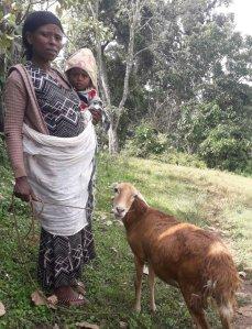 Des brebis pour les femmes de Wocha et Gada (Kaffa)