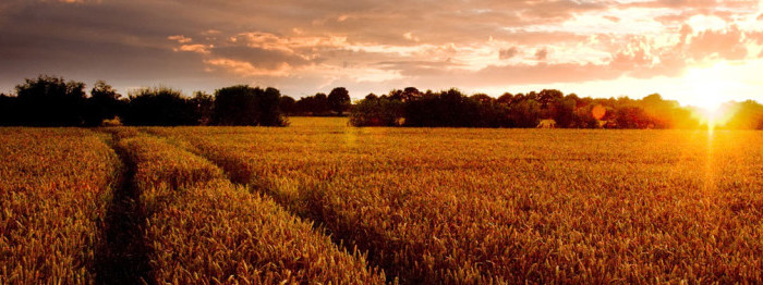 fields-of-gold