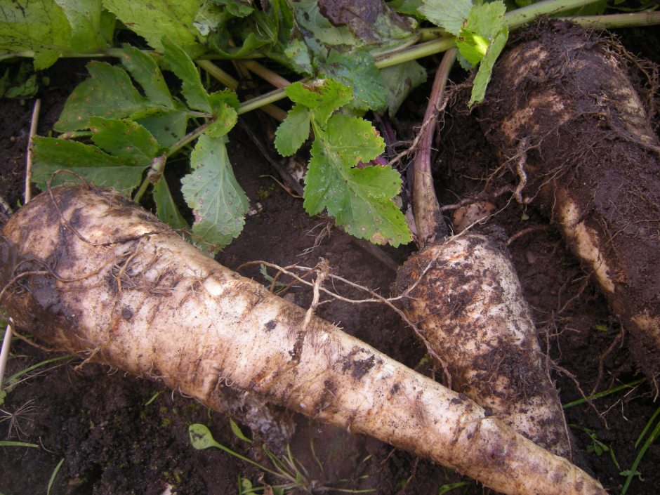 how to grow parsnips from seed uk