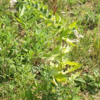 Henbane, Hyoscyamus niger
