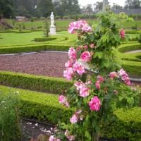 Rosa Mundi, Rosa gallica 'Versicolor'