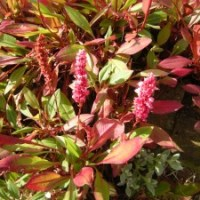 In Praise Of Persicaria