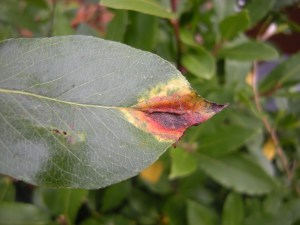 Pear Rust, early October (leaf upperside)