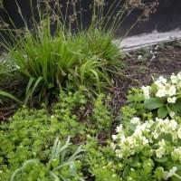 Sweet Woodruff, Galium odoratum