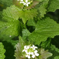 Garlic Mustard (Jack By The Hedge), Alliaria petiolata