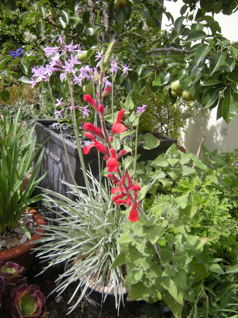 My Tulbaghia violacea 'Silver Lace' (pink flowers), growing with Salvia darcyii (red flowers) and Agapanthus.