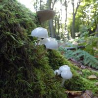 Porcelain Fungus, Oudemansiella mucida