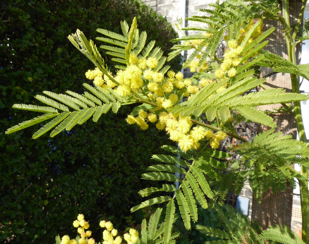 Mimosa Acacia Dealbata Jeremy Bartletts Let It Grow Blog