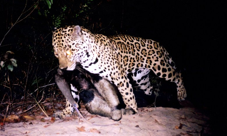THE GUARDIAN – 'Insane' camera trap video captures rare battle in the Amazon