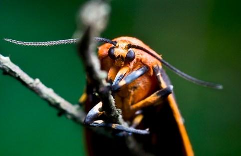 Painted Lichen Moth