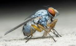 Blue Tiger Fly