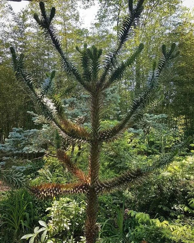 Arcaucaria araucana, monkey puzzle tree, from Argentina, #longhouse