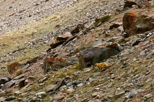 The local friend: Marmot.