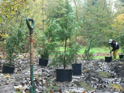 Some of 200 trees we planted winter 2014/2015