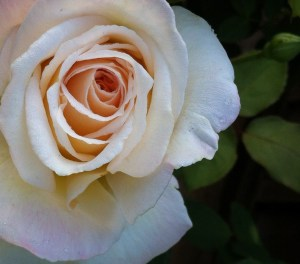 """White Rose"" c. Jeri Lawson All Rights Reserved"