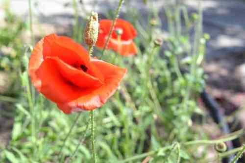 Picture of Orange Poppy