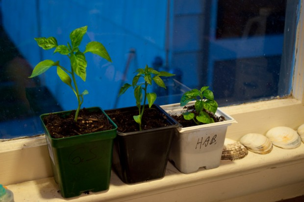 Triple Pepper Plants