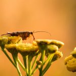 De schorpioenvlieg dankt haar naam aan de schorpioenachtige staart aan het achterlijf. Het insect is gefotografeerd in zij-aanzicht in het vroege ochtendlicht op de gele bloemen van boerenwormkruid. De warme gloed van de ochtendzon, geeft het beeld een oranje kleurtint.