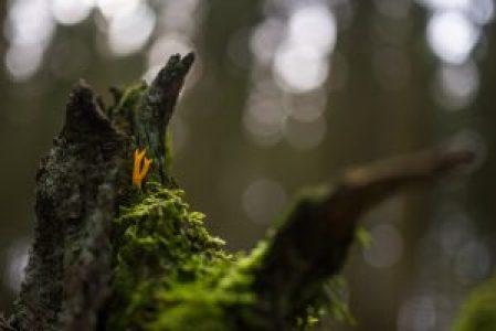 Feloranje koraalzwammetje op een bemoste, afgeknakte, dode boomstam. Het zonlicht dat in de achtergrond doorheen de boomkruinen schijnt, resulteert in onscherpe ronde lichtvlekjes.