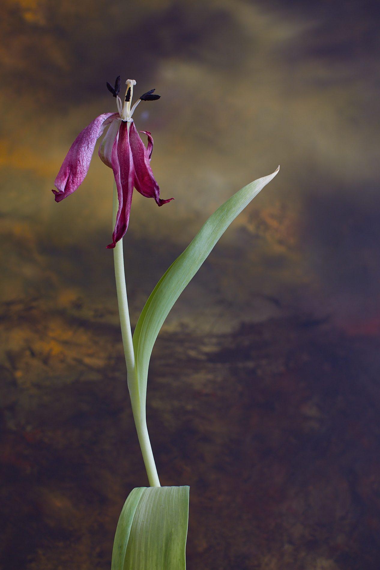 Crowened Tulip 2-color