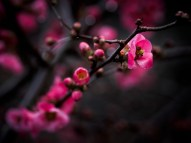 6/52 - Early pink blossoms