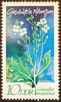 East Germany - flowers - Crambe maritima, Sea Kale