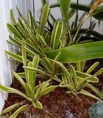 Aechmea gamosepala 'Variegata'. The plain green form makes a useful groundcover in semi-shade