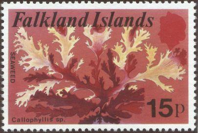 Falkland Islands - Callophyllis species, seaweed