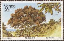 Venda - Ficus ingens, Red-leaved Rock Fig