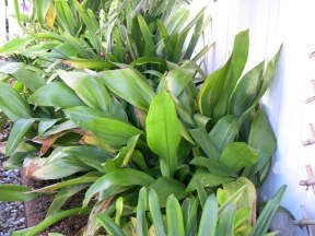 Aspidistra elatior may be called the Cast Iron plant, but it needs an occasional splash to look lush