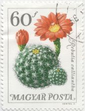 Hungary - Rebutia calliantha