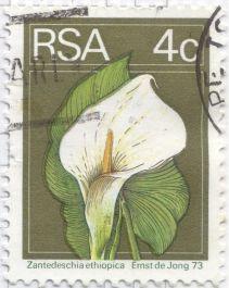 Zantedeschia aethiopica, calla or arum lily