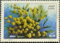 Algeria, Acacia dealbata, 2011