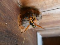 predatory Giant mason (or Large mud-nesting) wasp, Abispa splendida