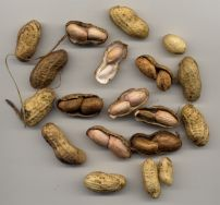Home grown peanut, Arachis hypogea