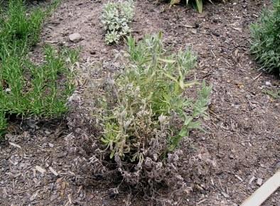 Fusarium wilt attacking lavender roots. This ubiquitous genus is aggressive in warm, wet, humid conditions