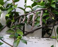parasitoid Paper wasp, Ropalidia revolutionalis, on Trachelospermum jasminoides