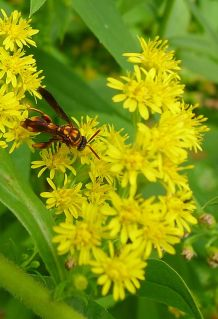 Species 379 found at Bellis: this Leucospis sp. wasp may be a new species. Drinking Goldenrod (Solidago sp.) nectar