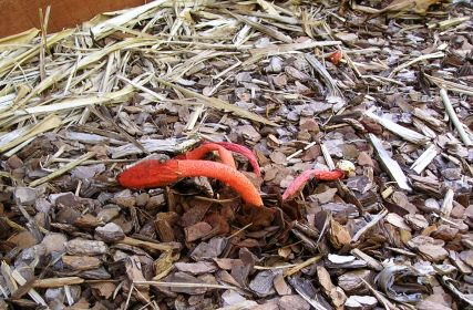 Our first stinkhorn, Phallus flavocostatus