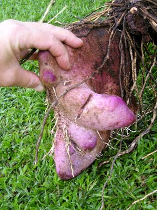 More Yam Please: Growing Alternatives To Potato | Jerry Coleby