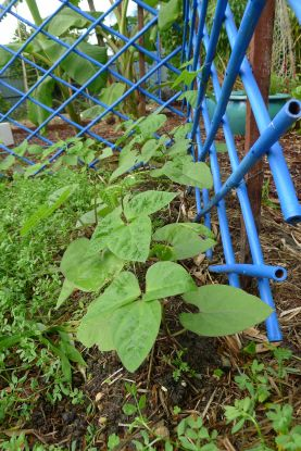Climbing bean, Phaseolus vulgaris 'Purple King'
