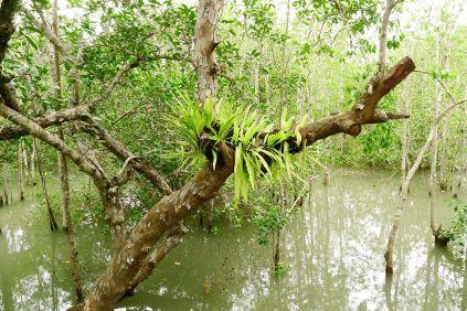 Epiphytes. Sundarban National Park, Bangladesh