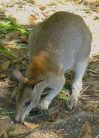 Agile wallaby, Macropus agilis ssp. papuanus. Nature Park