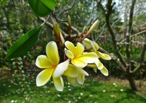 There are more pure yellow frangipani in Port Moresby than I have seen elsewhere