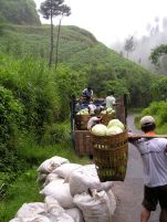 Cemoro Lawang: sending cabbages to market.